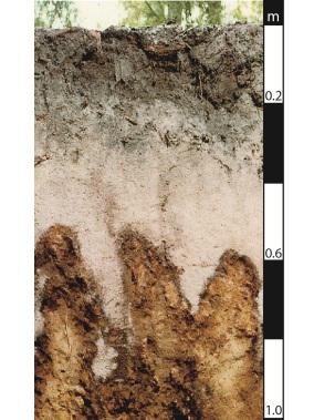 Podosol soil in Maryborough, Queensland.