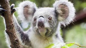 Koala in tree branches.