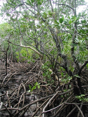 A healthy mangrove forest, with the dark blue-grey soil colours common to undisturbed acid sulfate soils