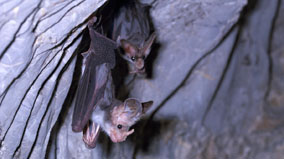 Ghost bats on cave wall.