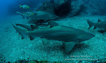 Image of grey nurse sharks in the gutters at Wolf Rock. Image: Amanda Delaforce.