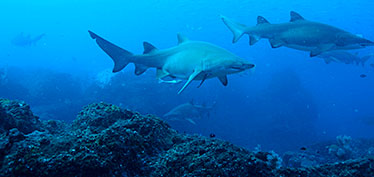 Image of grey nurse sharks at depth around Wolf Rock, near Double Island Point, Queensland.