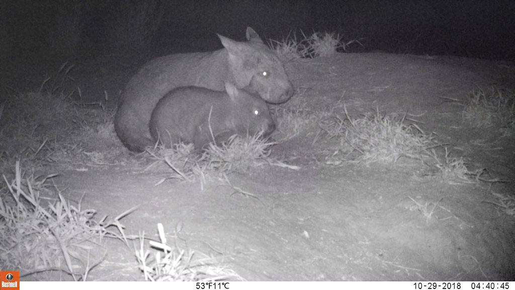 Mum and joey wombat. Photo. Queensland Government