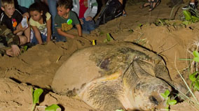 Turtle laying eggs.