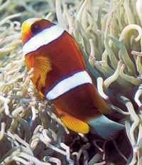 The Barrier Reef Anemone Fish is Queensland's official aquatic emblem.