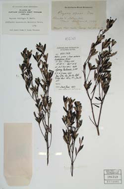 A specimen collected by Banks and Solander in 1770