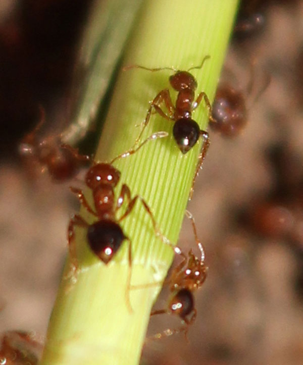 Fire ants on a plant
