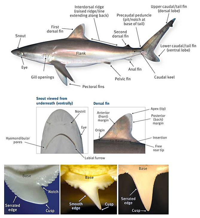 Diagram showing the basic anatomy of a shark.