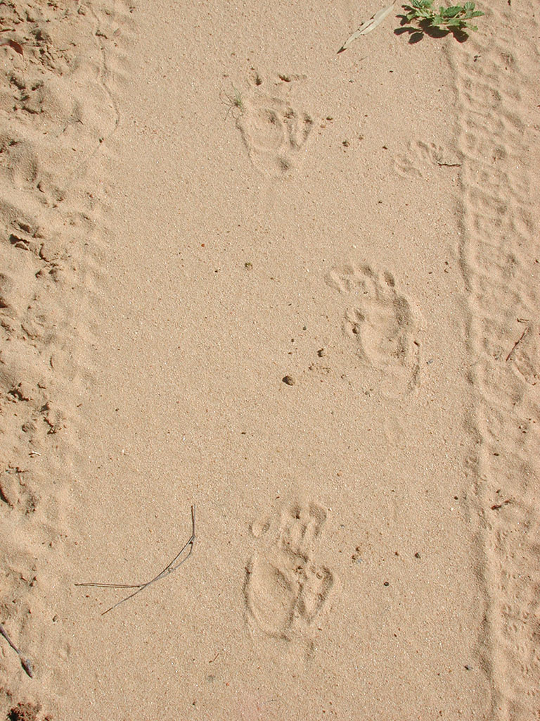 The prints of a northern hairy-nosed wombat. Photo: Queensland Government.