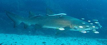 Image of grey nurse sharks swim protected under marine parks legislation within the Moreton Bay Marine Park.