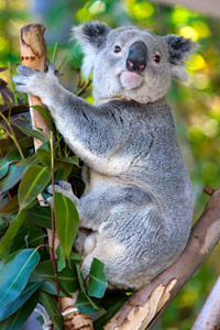 The koala is Queensland's official animal emblem.