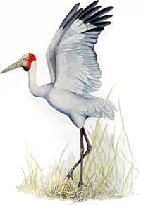 The brolga is Queensland's offical bird emblem