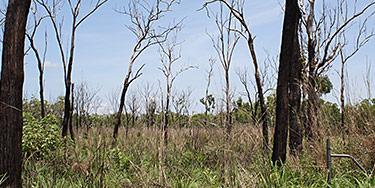 Guinea grass Megathyrsus maximus var. maximus