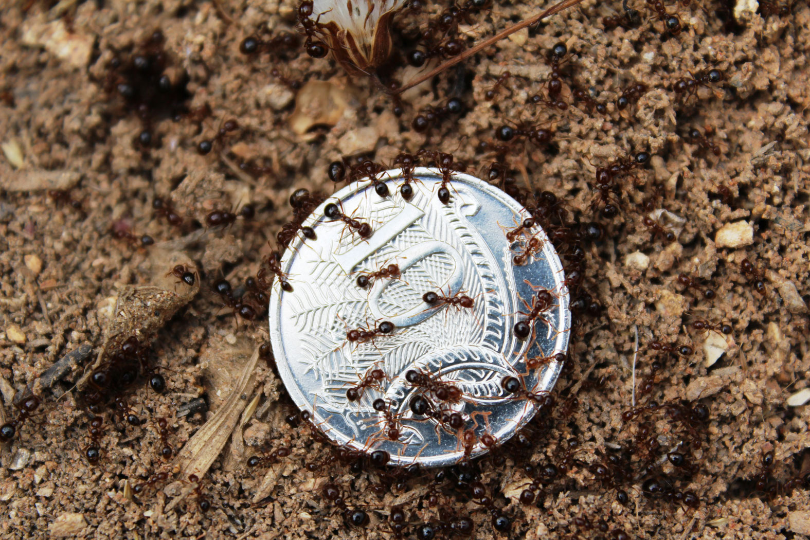 Fire ants on a coin showing variety in size