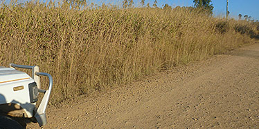 Gamba grass Andropogon gayanus